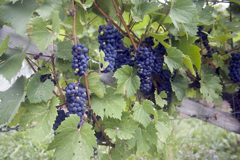 0236 Quebec -grapes ripening at Isle de Bacchus