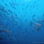 A school of tuna parts for divers