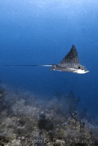eagle ray (tw) 1