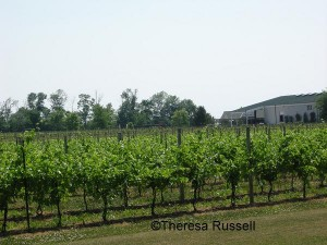 Pelee Island claims the southern most vineyards in Canada